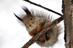 The squirrel sits on a tree.