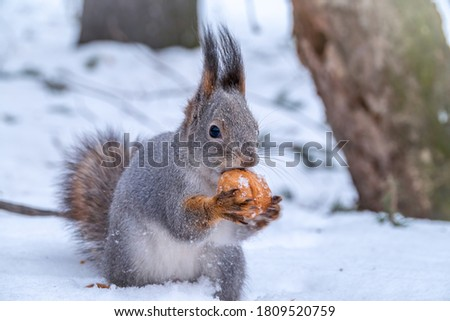 The squirrel sits on white snow with nut in winter. Eurasian red squirrel, Sciurus vulgaris. Copy space background