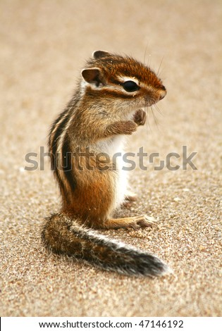 "The squirrel (Tamias sibiricus) stand on hind legs on the sandy shore. ""Please, do not touch me""!"