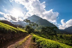 The start of the Ruo Path in the Lujeri Tea Estate leading up to the plateau of Mount Mulanje.