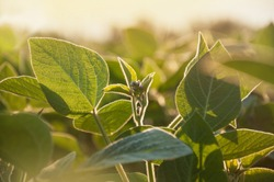 The stem of a flowering soy plant in a field reaches for the sun. Young flowering soybean plants on the field in the rays of the sun.