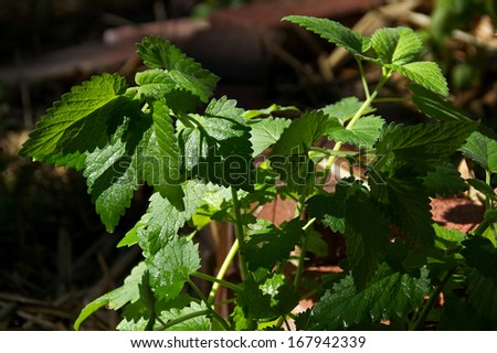 The stems and leaves of the herb plant, catnip outside in sunshine.