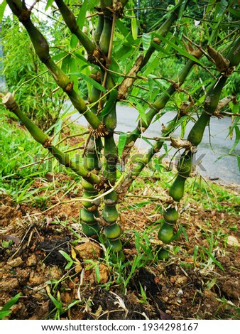The stems of Buddha belly bamboo (Bambusa ventricosa) have bulging internodes of its canes.  Zdjęcia stock ©