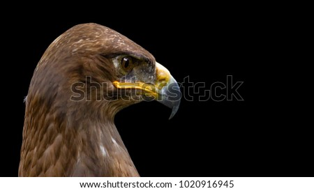 The steppe eagle, Aquila nipalensis, is looking on the right side and posing for best shot