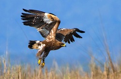 The steppe eagle is a bird of prey. Like all eagles, it belongs to the family Accipitridae.