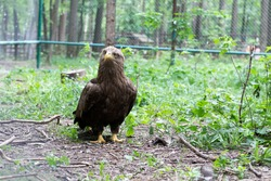 The steppe eagle walks among the greenery. A bird of prey from the hawk family.