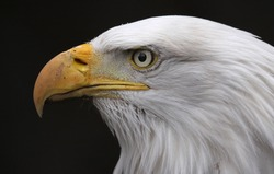 The stern face of a Bald Eagle (Haliaeetus leucocephalus).  The bird is the national bird of the United States of America.