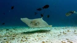 The stingray  is patrolling its hunting territory. Graceful swimming of a stingray. Diving with stingrays.