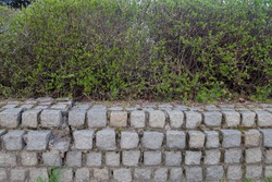 The stone masonry made of rough rugged square gray stones, fastened with cement mortar, is a fence with a hedge of young shrub trees with dense foliage with small leaves planted on top.