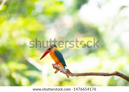The stork - billed kingfisher is perching on the end of a tree branch.