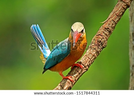The Stork-billed Kingfisher on branch in green background