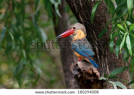 The Stork-billed Kingfisher (Pelargopsis capensis) (formerly Halcyon capensis), is a tree kingfisher which can found in Thailand.