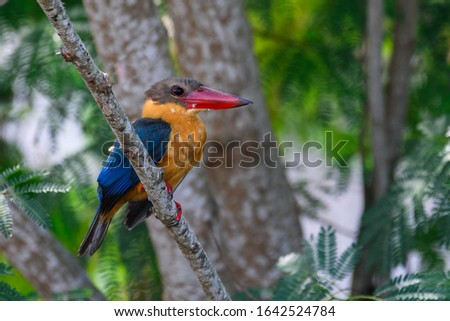 The stork-billed kingfisher (Pelargopsis capensis), is a tree kingfisher photograph in a natural environment habitat near a river eyeing for a prey.