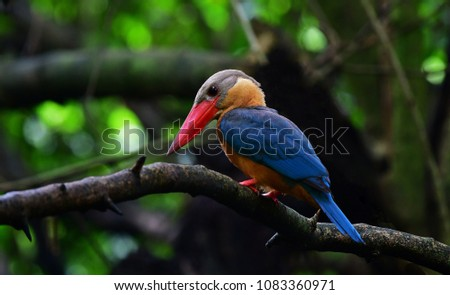 The stork-billed kingfisher (Pelargopsis capensis), is a tree kingfisher which is widely but sparsely distributed in the tropical Indian subcontinent and Southeast Asia, Large bird in Thailand.