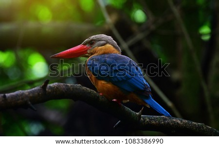 The stork-billed kingfisher (Pelargopsis capensis), is a tree kingfisher which is widely but sparsely distributed in the tropical Indian subcontinent and Southeast Asia, Big bird in Thailand.