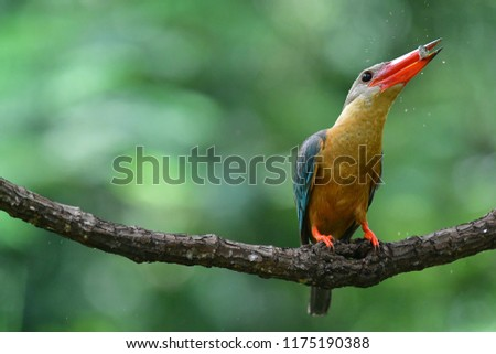 The stork-billed kingfisher (Pelargopsis capensis), is a tree kingfisher which is widely but sparsely distributed in the tropical Indian subcontinent and Southeast Asia,Big bird in Thailand kingfisher