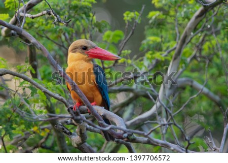 The stork-billed kingfisher (Pelargopsis capensis), is a tree kingfisher which is widely but sparsely distributed in the tropical Indian subcontinent and Southeast Asia, from India to Indonesia.