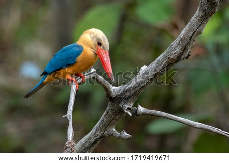 The Stork-billed Kingfisher (Pelargopsis capensis) is the largest kingfisher in Borneo.  Distinguished by its large red bill, it is common along waterways, ponds and wetland.