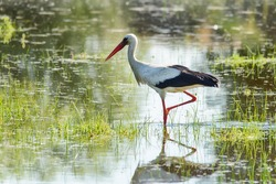 The stork walks on the water. Stork is looking for food in the pond.