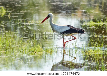 The stork walks on the water. Stork is looking for food in the pond. Foto d'archivio ©
