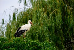 The storks in Naturoparc situated in Hunawihr (Alsace, France)