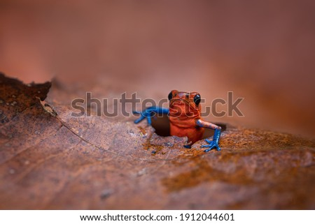 The strawberry poison frog or strawberry poison-dart frog (Oophaga pumilio, formerly Dendrobates pumilio) is a species of small poison dart frog found in Central America. Peaking through a leaf.