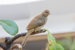 The Streak-eared Bulbul is a medium-sized, nondescript, brownish bird with slight streaking at its ears. Its scientific name is Pycnonotus conradi.