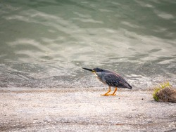 The Striated Heron (Butorides striata) also known as Mangrove Little or Green-backed Heron, Bird on the Concrete River Bank Next to the River in Guatape, Colombia