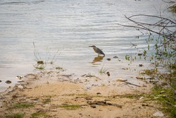 The Striated Heron (Butorides striata) also known as Mangrove Little or Green-backed Heron, Bird on the River in Guatape, Colombia