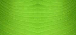 The striped closeup of green banana leaf textured background