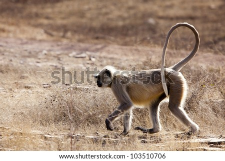 The strolling langur.