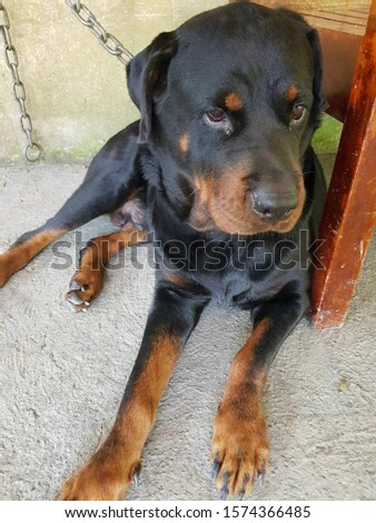 The strong and loyal Rottweiler is one of the best guard dogs to be found. One of the oldest herding breeds,the Rottweiler is an excellent working dog with power, endurance and intelligence.