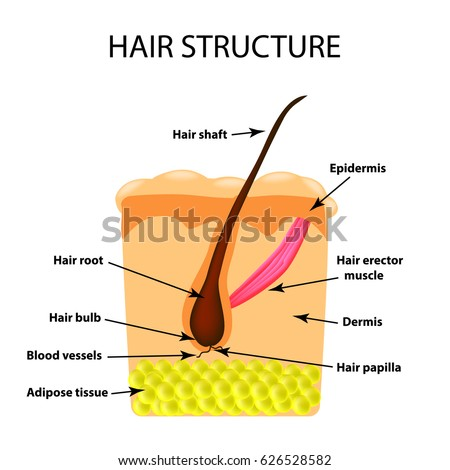 Royalty Free The Structure Of The Hair An 623179205 Stock Photo