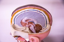 The structure of the human body, brain, cerebrum, cerebellum, liver brain, brainstem, skull, head,