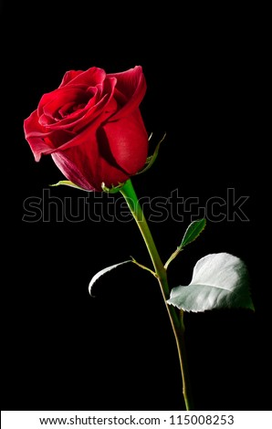 The studio photo of a red rose on a black background.