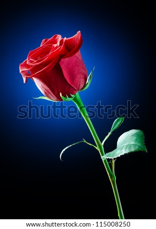the%20studio%20photo%20of%20a%20red%20rose%20on%20a%20color%20background.%20-%20stock%20photo