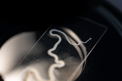 The study parasite or worms is a freshwater fish parasite in laboratory for education.