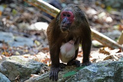 The stump-tailed macaque has long, thick, dark brown fur covering its body, but its face and its short tail, which measures between 32 and 69 mm (1.3–2.7 in), are hairless.Monkey in Thailand.