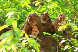 The stump-tailed macaque (Macaca arctoides), also called the bear macaque.It is primarily frugivorous, but eats many types of vegetation, such as seeds,leaves and roots, but also hunts freshwater crab