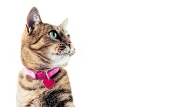 The stunning Bengal cat in the pink collar looks up. Mixed media