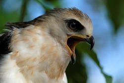 The Sulawesi hawk-eagle Chicks, also known as Celebes hawk-eagle or Nisaetus lanceolatus.