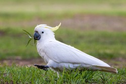 The sulphur-crested cockatoo is a relatively large white cockatoo found in wooded habitats in Australia, New Guinea, and some of the islands of Indonesia. They can be locally very numerous, leading to