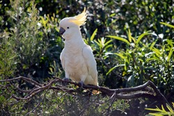 the sulphur crested cockatoo is a white cockatoo with a black beak and yellow crest