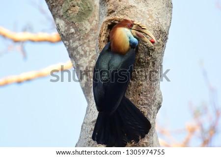 The Sumba hornbill (Rhyticeros everetti) is a large bird in the Bucerotidae, or hornbill family.