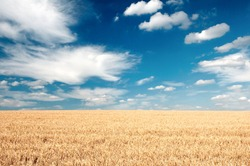 The summer field with full grown grain