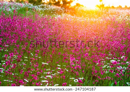 the summer  landscape with  flowers on a meadow and  sunset