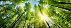 The sun beautifully illuminating the green treetops of tall beech trees in a forest clearing, panorama shot