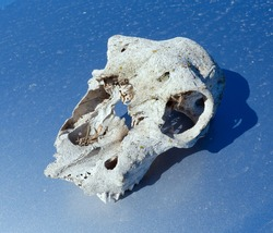 The sun bleached bare white scull of a sheep on a blue background