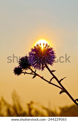 The sun breaks through the prickly flower petals at sunset - Shutterstock ID 244229065