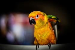 The sun conure is one of the more popular conures of its size due to its stunning plumage, its extraordinary disposition, and its exceptional quality as a companion bird. Sun conures are lively,